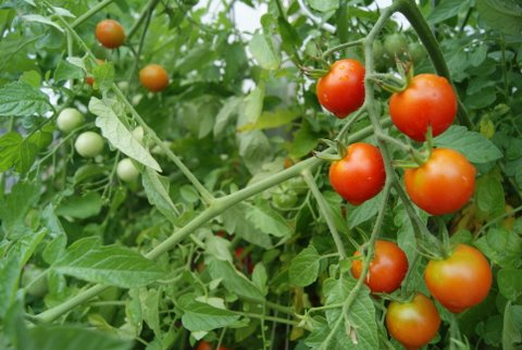Ripe cherry tomatoes on the vine at the Cookroom restaurant