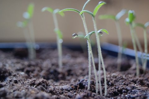 Tomato seedlings growing in a tray